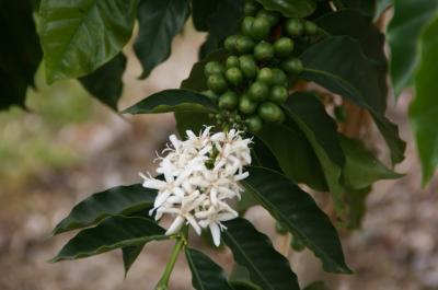 2コナコーヒーの花