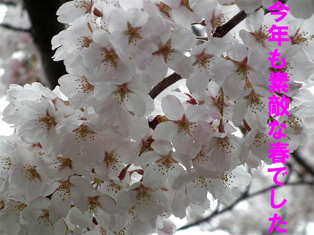 桜からの出会い (1)
