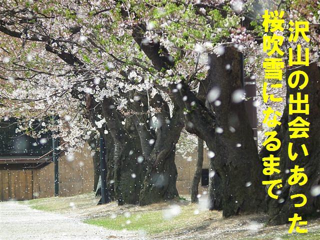 桜からの出会い (2)