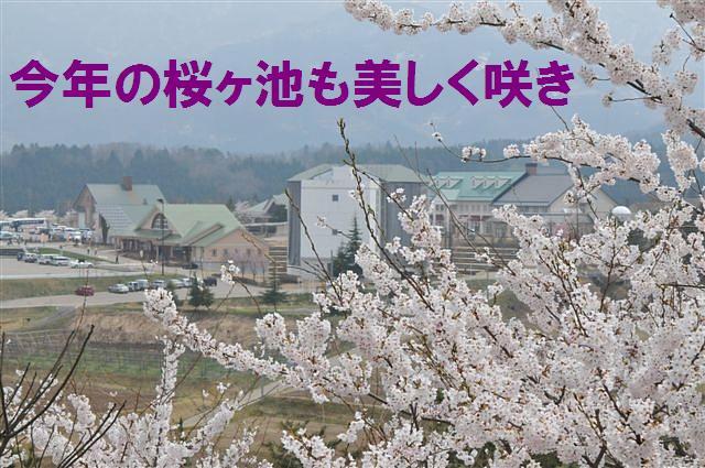 桜からの出会い (3)