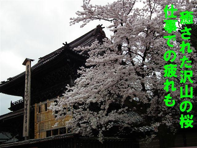 桜からの出会い (6)