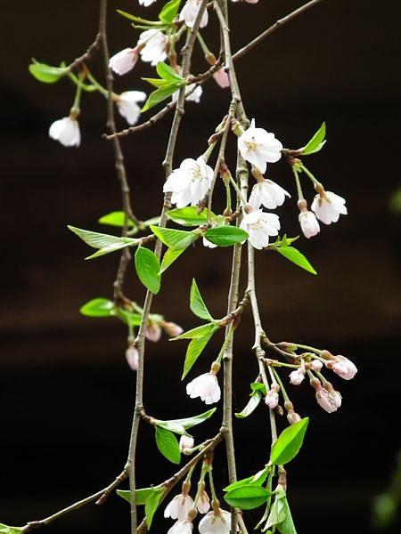 桜からの出会い (7)
