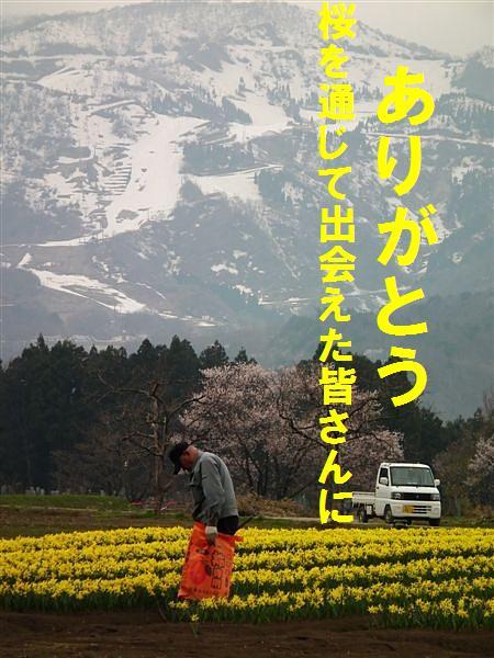 桜からの出会い (9)