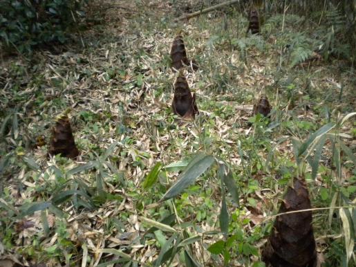 竹の子狩り-1a