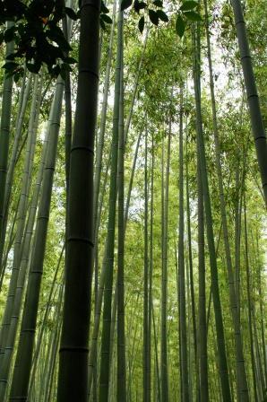 嵯峨野嵐山竹林の道