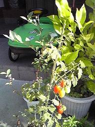 ブルーベリーImage412トマトアイコ縮小
