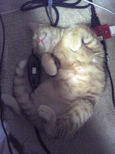 ちょこ、あおむけで寝る 縮小