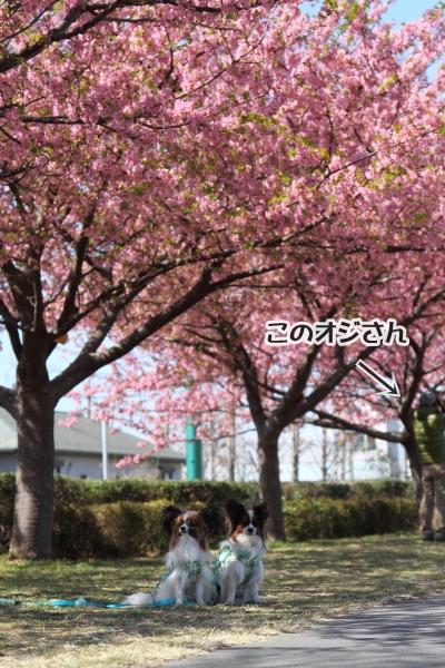 IMG_8550河津桜 3・11河津桜 3・11