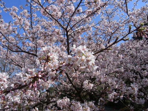 RIMG0119河津桜 3・11 ふるさと公園 玉縄さくらふるさと公園 玉縄さくら