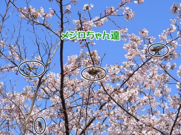 RIMG0116河津桜 3・11 ふるさと公園 玉縄さくらふるさと公園 玉縄さくら