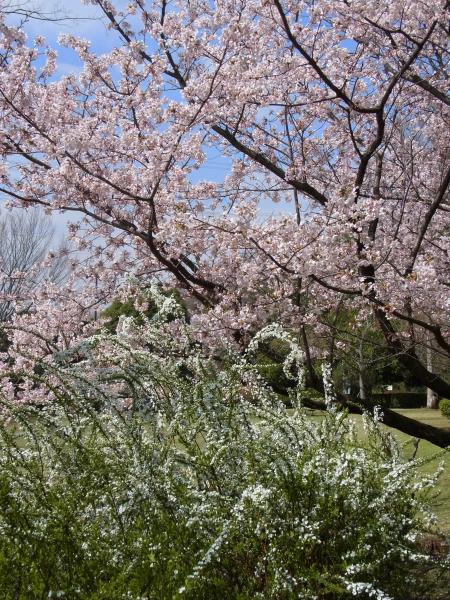 RIMG0138河津桜 3・11 ふるさと公園 玉縄さくらふるさと公園 玉縄さくら