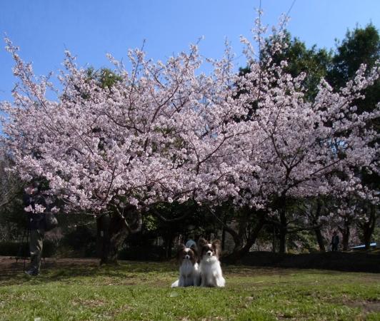 RIMG0120河津桜 3・11 ふるさと公園 玉縄さくらふるさと公園 玉縄さくら