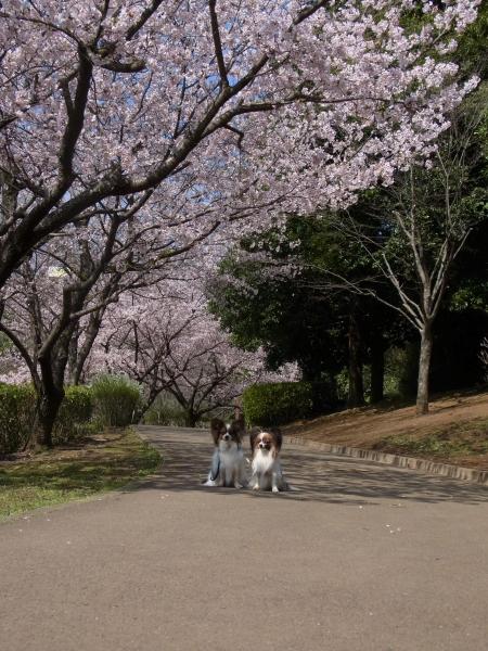 RIMG0134河津桜 3・11 ふるさと公園 玉縄さくらふるさと公園 玉縄さくら