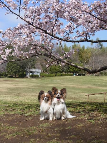 RIMG0124河津桜 3・11 ふるさと公園 玉縄さくらふるさと公園 玉縄さくら