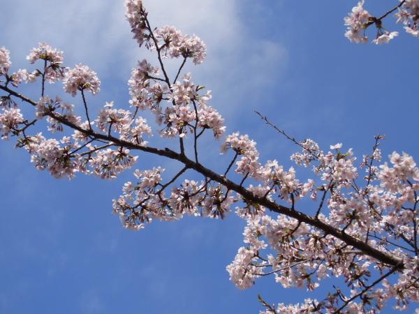 RIMG0126河津桜 3・11 ふるさと公園 玉縄さくらふるさと公園 玉縄さくら