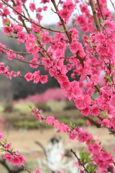 IMG_1052お山の桃お山の桃 2013