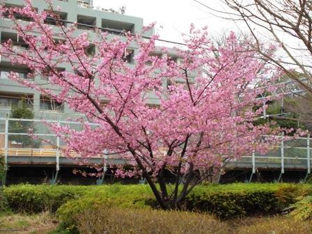 水神公園桜