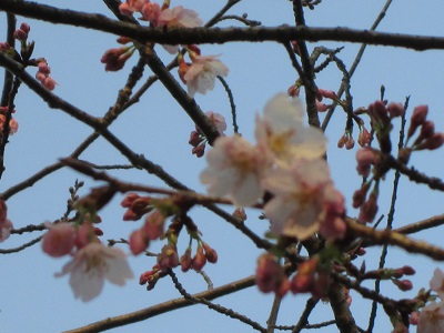 130316早咲き桜t