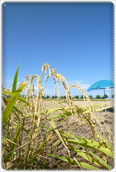 2012,8,22稲刈り4