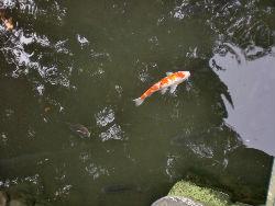 池の鯉_copy