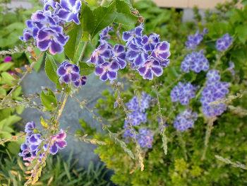 1016花紫