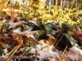 ツルアリドオシ(上の葉はショウジョウバカマ)
