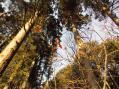 杉や樅と共生しているツクバネ