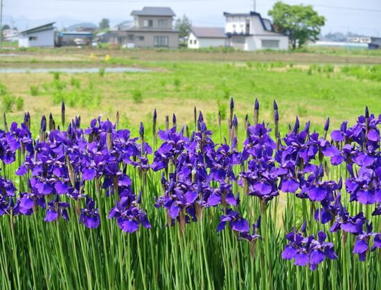 kikyou527.jpg