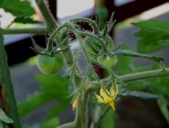 tomato2012630.jpg