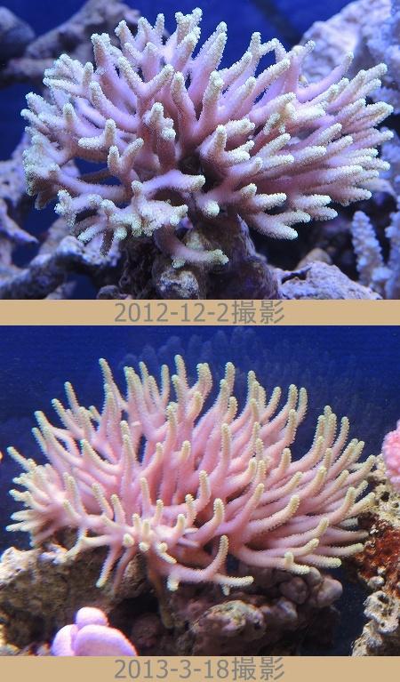 フトトゲ珊瑚成長