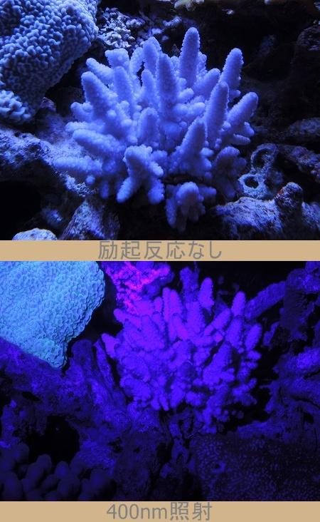 フィジ-珊瑚