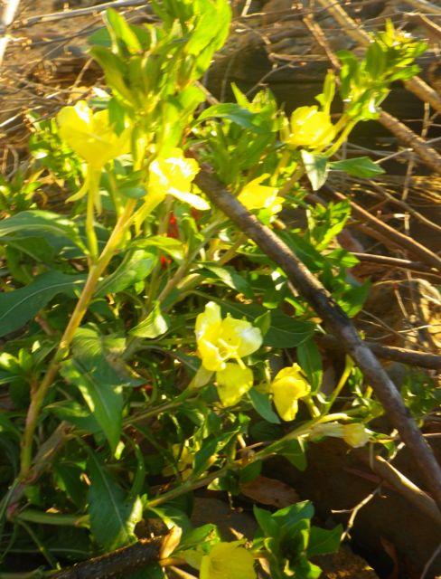 1127のあさ・黄色い花