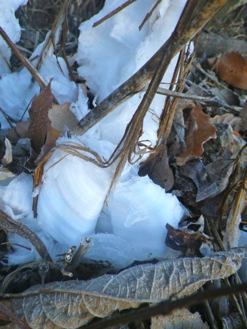 霜柱と言う草4