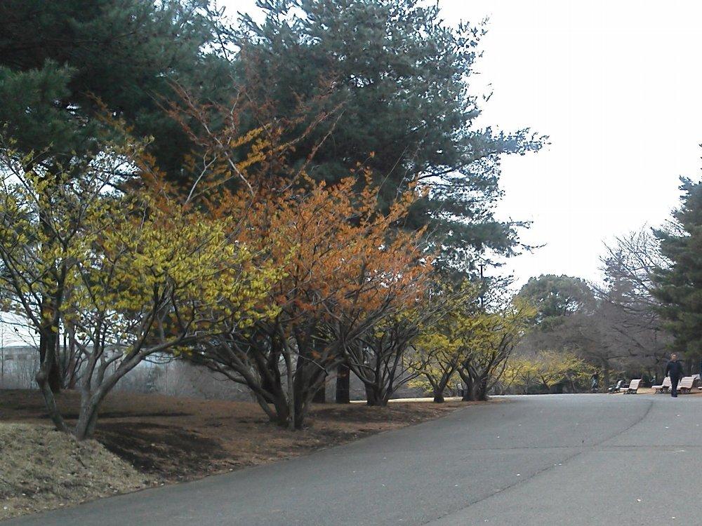 F1000533樹林公園マンサク