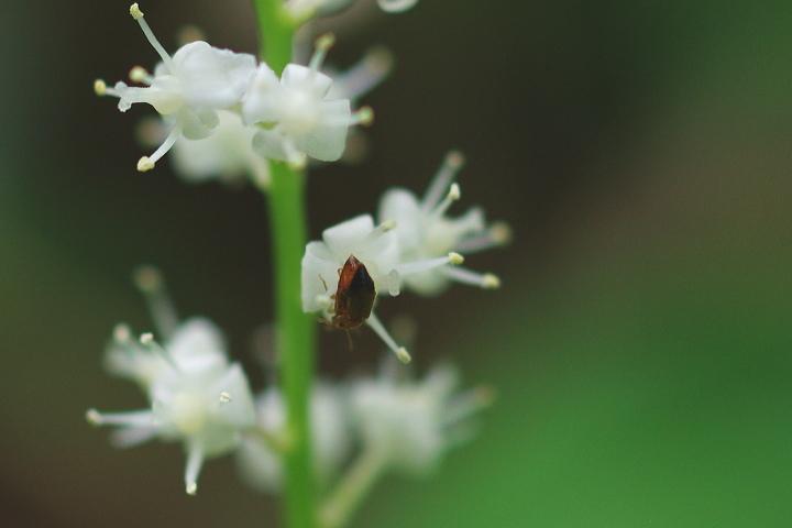マイヅルソウの花の上で