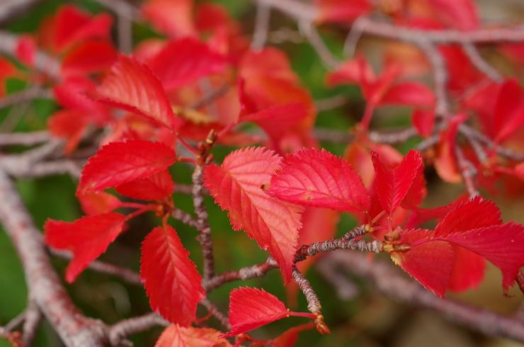ミネザクラ紅葉