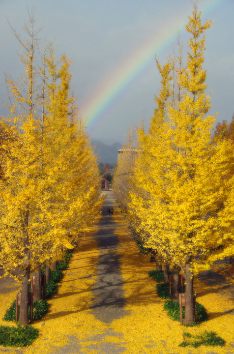銀杏並木に虹の架け橋