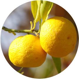 12月3日_七十二候_橘始黄