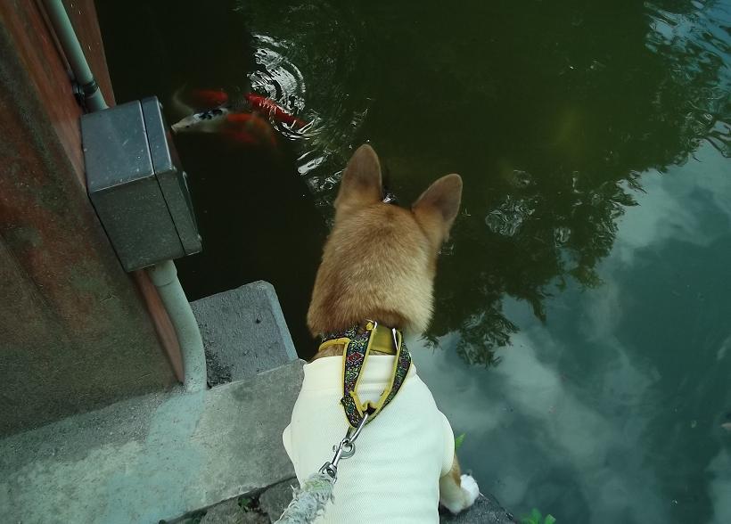 鯉vs恵空