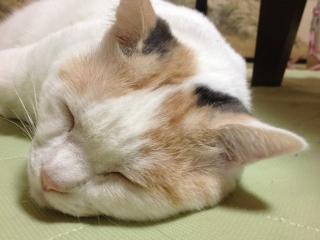 アズキ寝顔