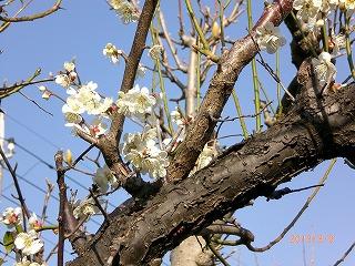 2013年3月梅開花
