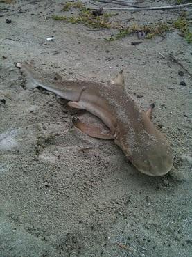 小さいサメ