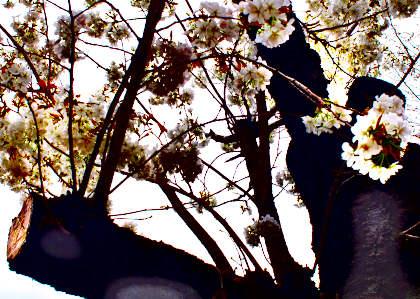 a桜 022