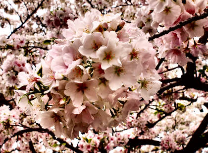 a桜 036