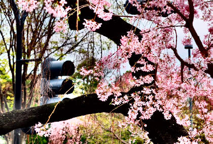 a桜 049