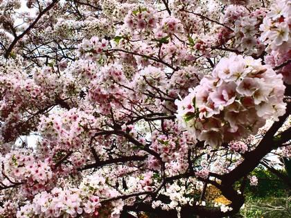 a桜 035
