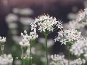 # 004  韮の花