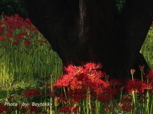 #017  「大樹の陰で」  曼珠沙華
