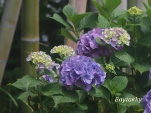 # 019  紫陽花