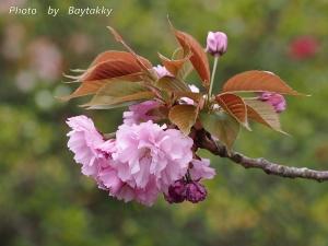 #029  八重桜